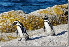 Star sunday penguins and false bay and Table Mtn-116